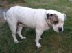 Pepper the American Bulldog